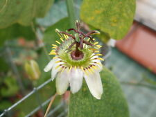 Passiflora cuneata 10 seeds