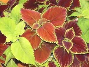 Coleus Rainbow Mix Seeds    B19