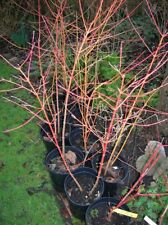 DOGWOOD ANNYS WINTER Cornus Sericea 30ins 4L Pot Hardy Orange Stems + FREE GIFT