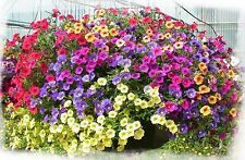 TRAILING PETUNIA FLOWER MIX (5000+ SEEDS)