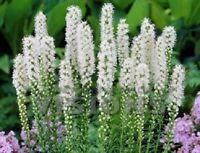 50+ Liatris Floristan White Spictata / Perennial Flower Seeds