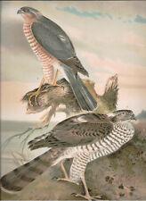 Naumann 1905 Naturgeschichte der Vogel Accipiter Nisus,Sparrowhawk