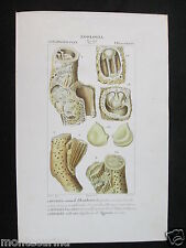 1847 ca ippurite conchiglie fossili zoologia stampa acquerellata engraving D197