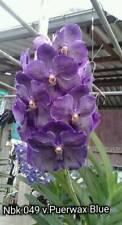 Vanda orchidee pure Wax Blue pianta giovane M 2-2