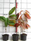 Oxydendron arboreum  - seltener Baum / Rarität,  mit auffallender Herbstfärbung