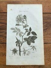 1812 elements of botany print - the dog rose !