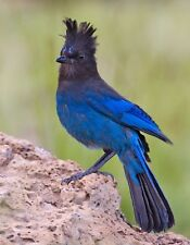 METAL MAGNET Male Steller's Jay Bird Birds Blue MAGNET