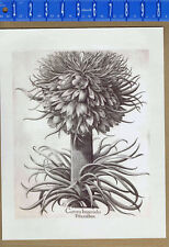 Tulips Basilius Besler print from Hortus Eystettensis Botanical Poster 24x36 in