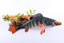 Taxidermy Fish Perch Real Stuffed mounted Wild game Perca fluviatilis