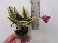 Dendrobium phalaenopsis Dwarf Variegated form.