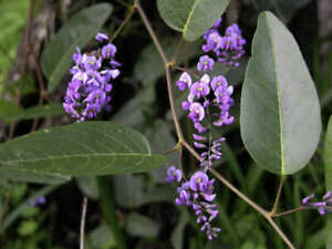 Hardenbergia Violacea - Native sarsaparilla seeds climber - 20 Seeds