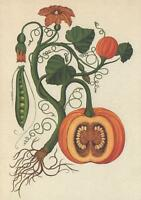LARGE SIZE VEGETABLES CLIMBING PEAS PUMPKIN POSTCARD - Kew Royal Botanic Gardens