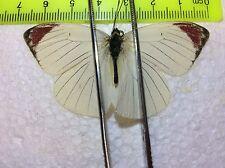 UCWY 06 A+/A Colotis hetaera  ???  Pieridae