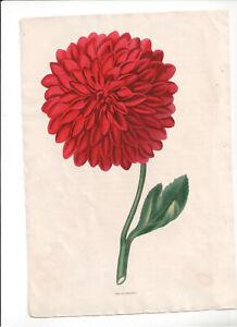 1836 Florists' Magazine, Botanical, Hand coloured plate, Duke of Sutherland,