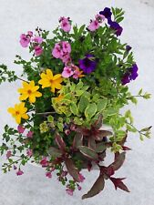 X6 Mixed Hanging Basket Bedding Plants 9cm Pots *NOT PLUGS* *MIX WILL VARY*