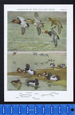 DUCKS - Canvas Back, Lesser Scaup, Ring Necked, Redhead -1932 New England Birds