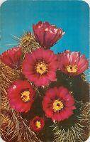 Chrome Postcard AZ D709 Hedgehog Cactus Echinocereus Engelmanii Strawberry Flora