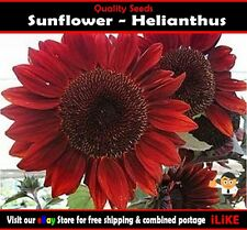 Sunflower Helianthus Red Velet 10 Seeds Minimum Garden Flower Plant. Looks Great