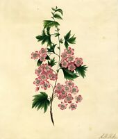 Pink Saxifrage Flowers – Original early 19th-century watercolour painting