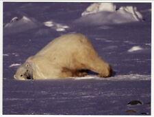 Postcard Polar Bear Slides into Nap Position