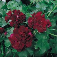 New Pack x6 Trailing Ivy Geranium 'Tommy' Summer Garden Plug Plants