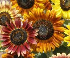 SUNFLOWER SEEDS 25+ AUTUMN BEAUTY MIX ANNUAL GARDEN BEES BIRDS Free Shipping