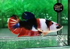 LIVE BETTA FISH FEMALE ORANGE WHITE KOI GALAXY FANCY HALFMOON PLAKAD HMPK (PKF40