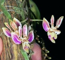 MOS.Orchid Species Phalaenopsis finleyi (small seedling, rare)