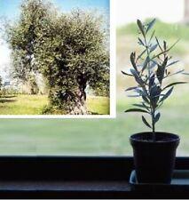 Öl-Baum Samen immergrüne exotische Topfpflanze Kübelpflanzen für das Gewächshaus