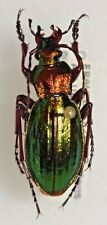 Carabidae Carabus Chrysocarabus auronitens punctatoauratus aubryi France #W98