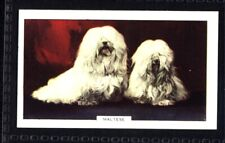 Gallaher Dogs 2nd Series 1938 - Maltese No. 8