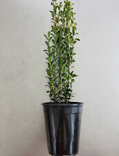 Ilex Sky Pencil Japanese Holly Quart pot ~Lot of 12~