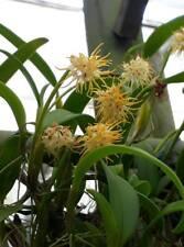 Bulbophyllum trichosephalum orchid plant BLOOM SIZE Thailand CITES PHYTO