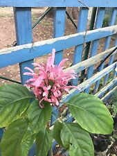 Pink Justicia carnea - Beautiful Flowering Shrub