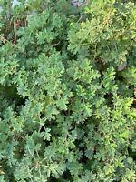 PELARGONIUM Rose scented GERANIUM 4 PLANT CUTTINGS