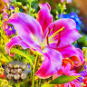 Seed Rare Asiatic Lily Bulbs Seeds Planting Lilium Perfume Flower Garden 2 Seeds
