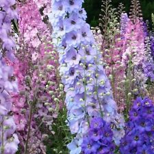 1 Pack 100 Delphinium Seeds Bonsai Flower For Ornamental Plant S063
