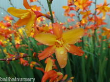 3 New Crocosmia Orange Pekeo ® tricolour flowers garden plant ex 1 litre pots