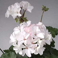 15 Geranium Seeds Multi bloom White