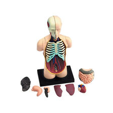 Bricolage Human Body Model Anatomy Understand The Composition Of Human Body