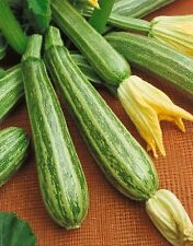 Zucchini Seeds Zucchini Italian Striped 100 Summer Squash SEEDS