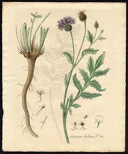 Antique Print-CENTAUREA SCABIOSA-GREATER KNAPWEED-788-Flora Batava-Sepp-1800