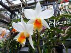Dendrobium (formosanum x Frosty) 'Waiomao Stas', orchid plant