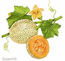 Cantaloupe Melon, Muskmelon Sweet Fruit Plant -10 Seeds - Rich in Anti-Oxidants
