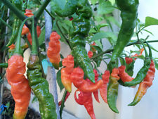Indian Naga Jolokia Chilli Pepper - High Yield & Medium Hot Variety - 10 Seeds