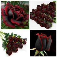 50 Stück schöne schwarze Rose Blume mit roten Rand Sämling Samen beste X6V0