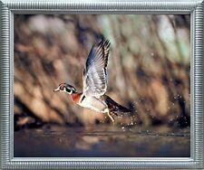 Wild Wood Duck Flying Bird Hunting Animal Wildlife Wall Decor Art Framed Picture