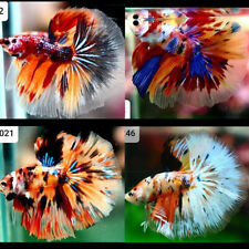 Live Betta Fish Plakat Halfmoon Fancy Candy Multicolor High Quality Siamese Figh