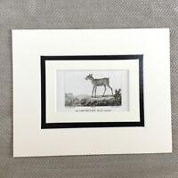 1791 Pygmy Moschus Reh Wild Hirsch Tiere Original Antik Französisch Gravur Druck