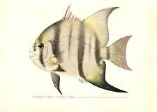 1904 Antique Denton Fish Print ~ Spade Fish Triple Tail